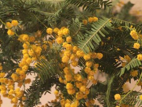 黄色い花 ミモザの日