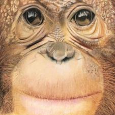 Barratt 'Orangutan'
