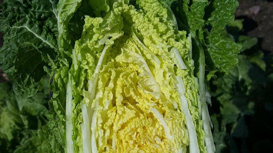 Braising Chinese Cabbage
