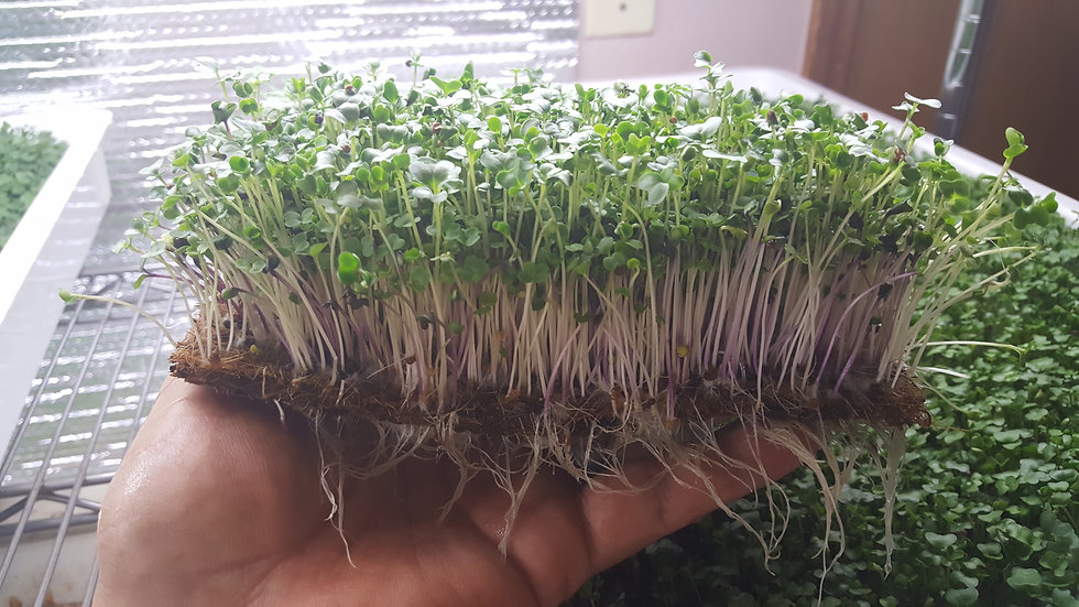 Rainbow Mix Microgreens