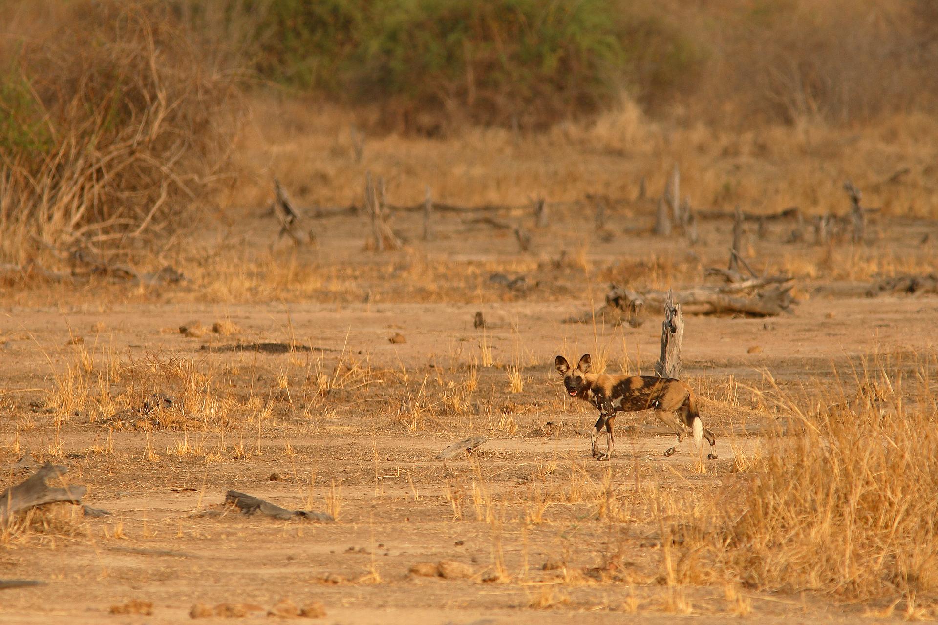 Wild dog of the Luangwa