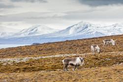 Land of reindeers