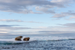 Island of the walrus