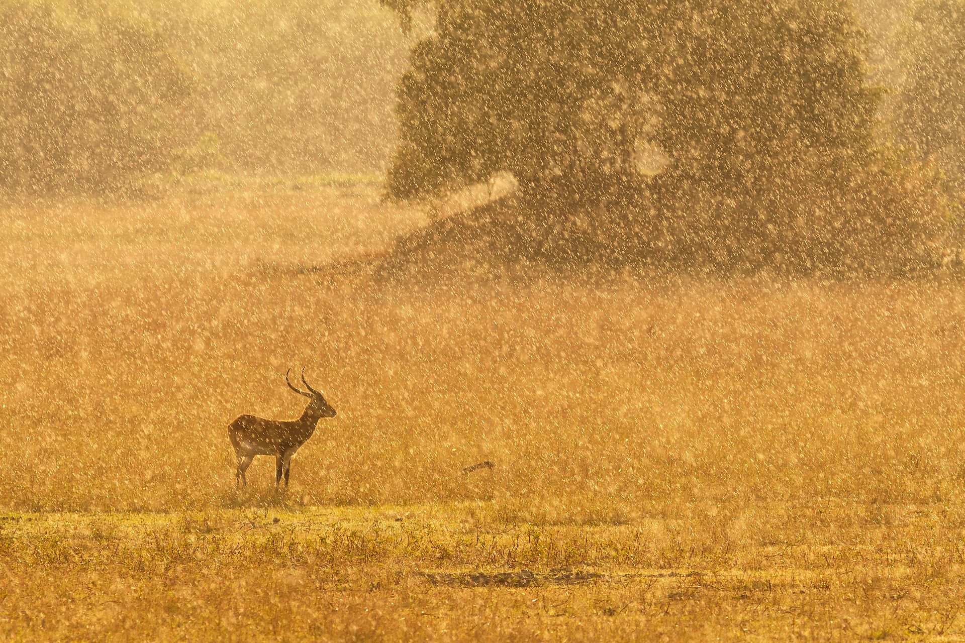 Backlit lechwe in the rain