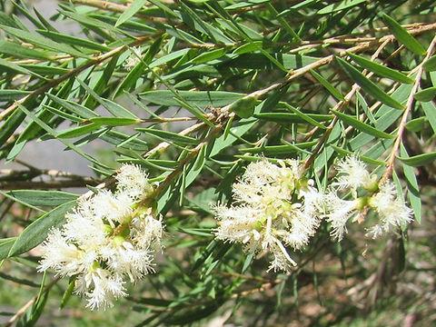 Melaleuca_linariifolia.jpg