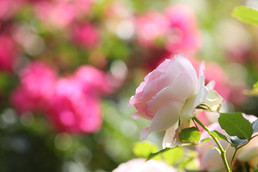 Rose 'Pierre de Ronsard'