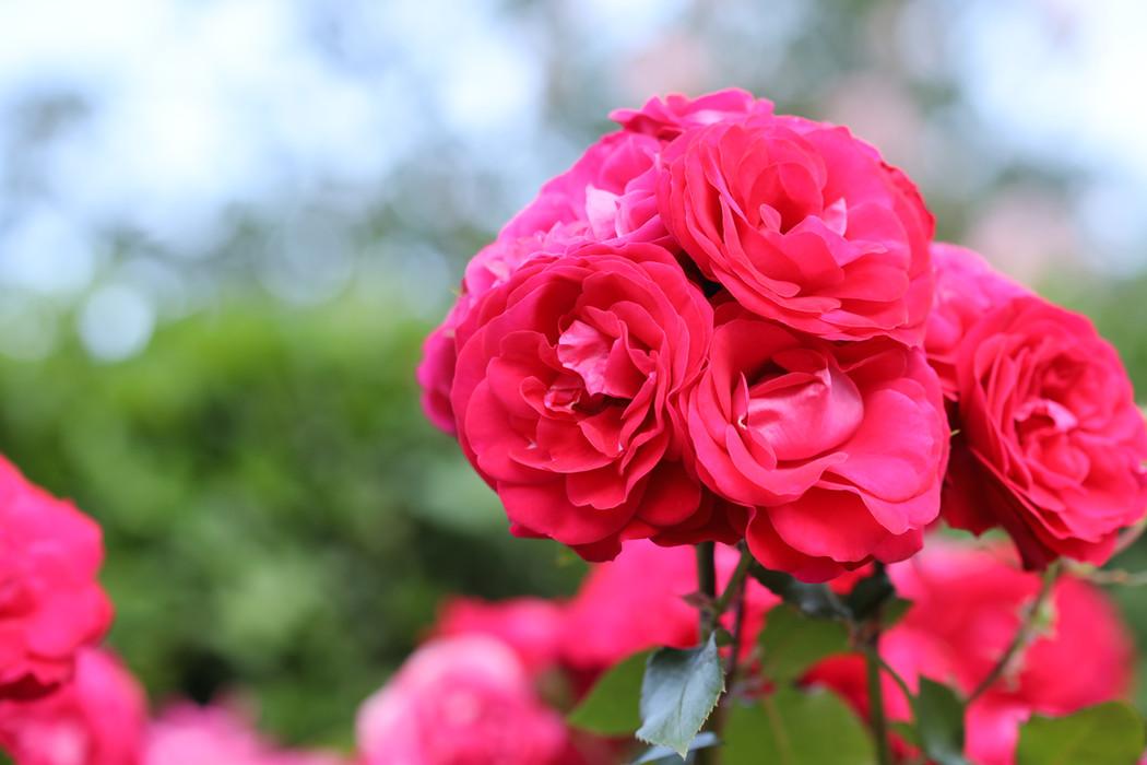 Rose 'Sourire de Mona Lisa', photographed in Yokohama