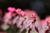 Chinese fringe flower(ベニバナトキワマンサク)