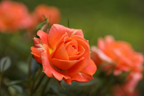 Rose 'Amber Meillandina'