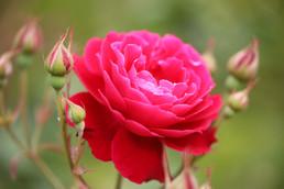 Rose 'Gruss an Teplitz'