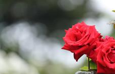 Rose 'Kardinal'