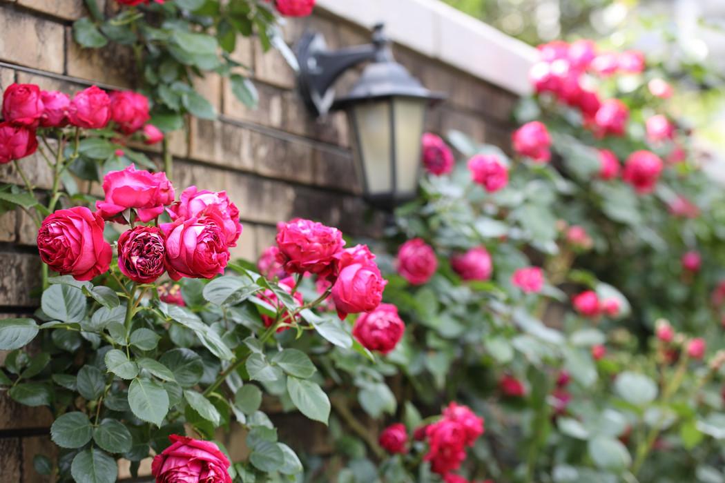 Rose 'Rouge Pierre de Ronsard', photographed in Yokohama