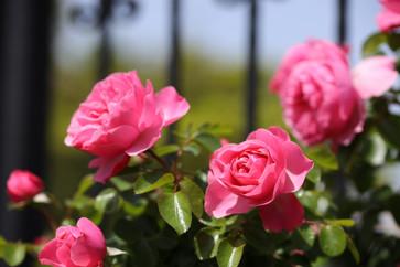Rose 'Leonardo da Vinci'