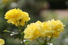 Rose 'Izu no Odoriko'