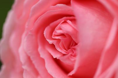 Rose 'Hama-mirai'