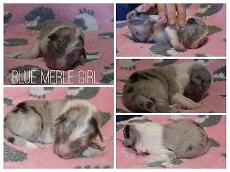 Blue Merle Girl.jpeg