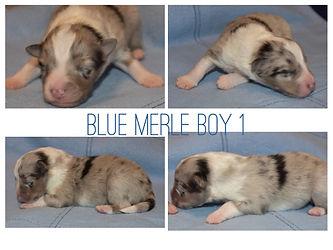 Blue Merle Boy 1.jpeg