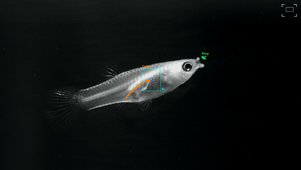 Female guppy feeding on plankton, with center of mass and prey digitized