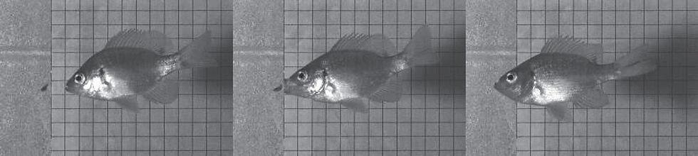 Bluegill feeding on fish