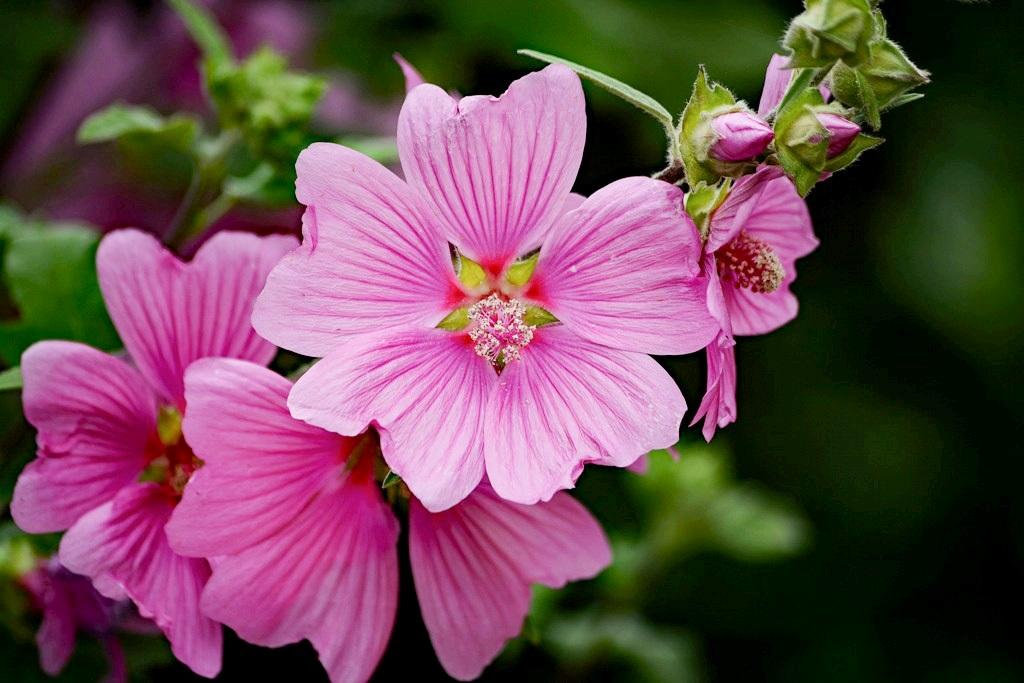 """Lavatera Thuringiaca """"Kew Rose"""""""