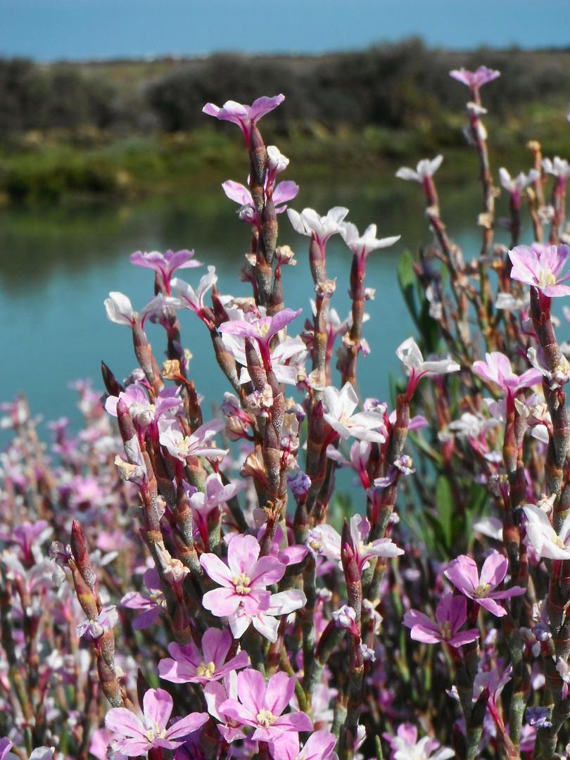 Flora, Salinas do Grelha, Algarve - Olhão, Ria Formosa