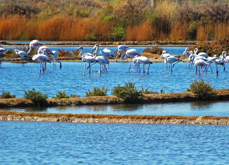 Flamengos, Salinas do Grelha, Algarve