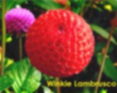 Winkie Lambrusco - Pompon Dahlia