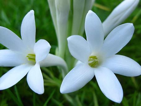 Tuberoza – Regina nopții, Lady Night, Noapte mirositoare sau Planta magică