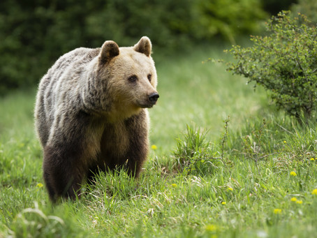 Mon animal totem : L'ours