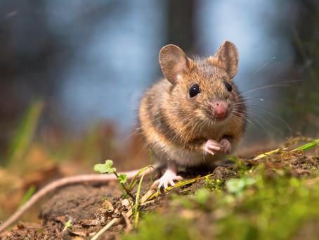Mon animal totem : La souris