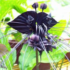 100pcs/Bag Black Tiger Shall Orchid Seeds-US$2.87