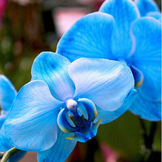 200pcs/Bag Phalaenopsis Rare Orchid Seeds -US$2.87