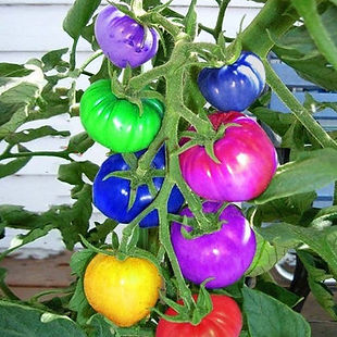 100Pcs Rainbow Tomato Seeds Magic Garden Colorful Bonsai Organic Vegetables and Fruits Seeds Home Yard - RM10.16