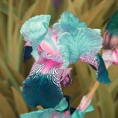 50pcs/Bag Iris Orchid Seeds -US$2.87
