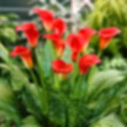 Egrow 50PCS Calla Lily Seeds Garden Balcony Potted Perennial Flower Seeds Bonsai Ivy Flowers - RM11.86