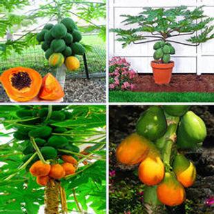 Egrow 15Pcs/Pack Carica Papaya Seeds Organic Edible Fruit Sweet Papaya Bonsai Outdoor Tree Seed -RM12.20