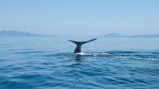 マッコウクジラ/羅臼沖
