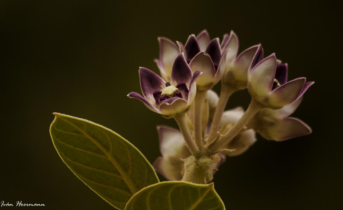 Flor en Rajasthan