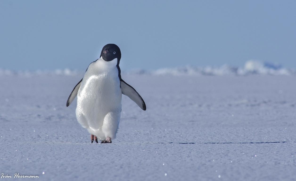 Pingüino de Adelia. Antártida.