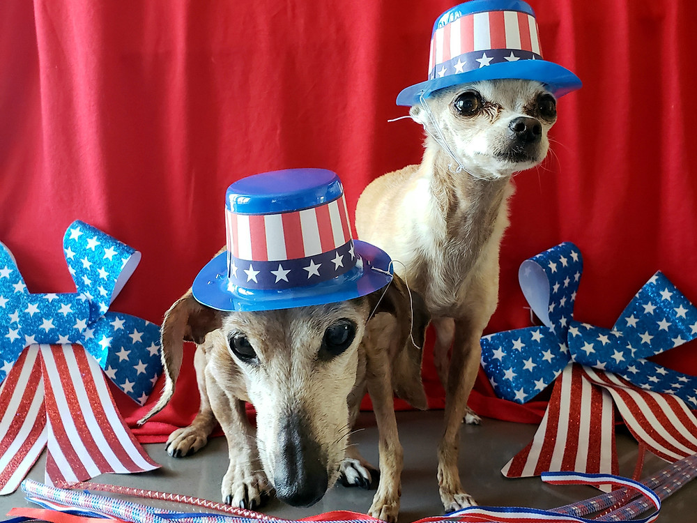 Previous Spokesdog Lexi and Dachs and current Emee the Chi, posing for 4th of July photo shoot in 2019.