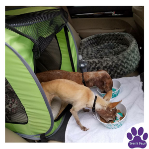 Traci's Paws Spokesdogs Lexi & Emee eating food after arriving at an evacuation center.