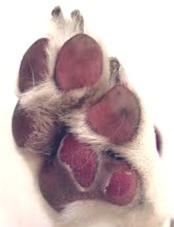 The Pads of this dog's paw have been burned after walking on hot pavement. Traci's Paws pet blog, The Paws Spot. Photo credit Dogtime Magazine.