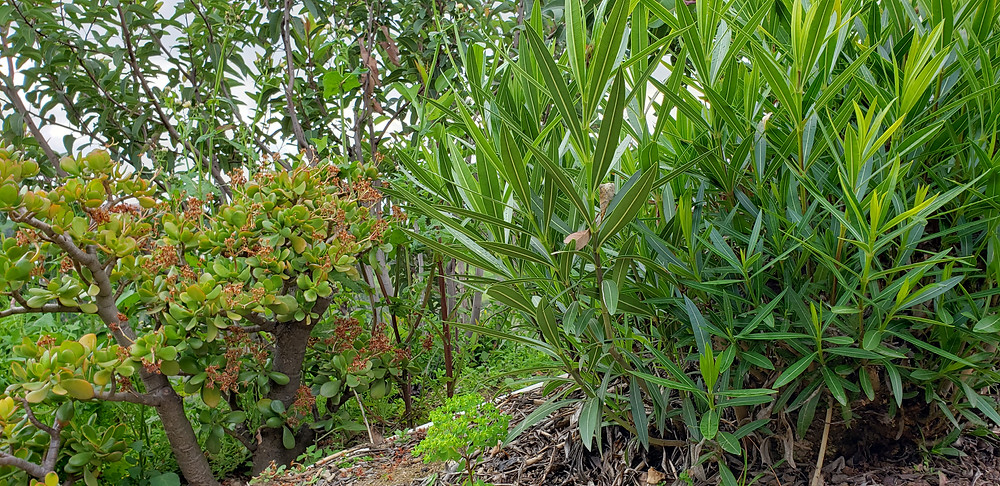 Jade and Oleander are both common shrubs, but toxic to pets. Traci's Paws, The Paws Spot.