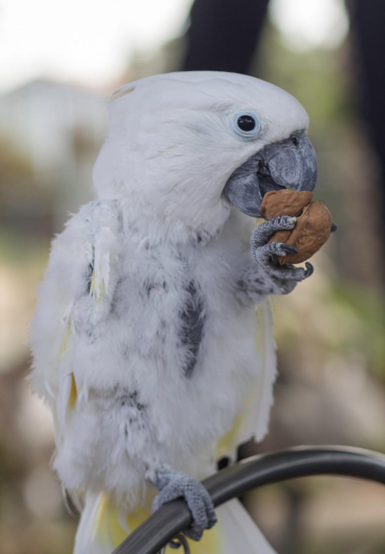 Obi with his walnut