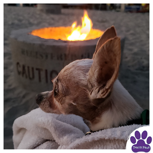 Traci's Paws Spokesdog, Emee the Chi is in the lap of her owner, as they enjoy the warmth of a fire pit 6 feet away. Emee is wearing her leash to prevent getting close enough to the fire to get injured or to potentially start a fire.