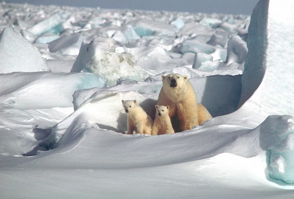 Live Polar Bear Cam