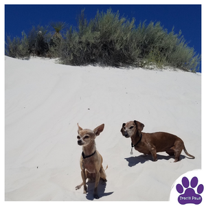 Traci's Paws Spokesdogs Lexi and Emee at White Sands National Monument