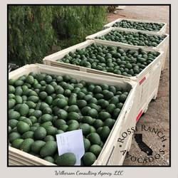 Rossi Ranch Avocados