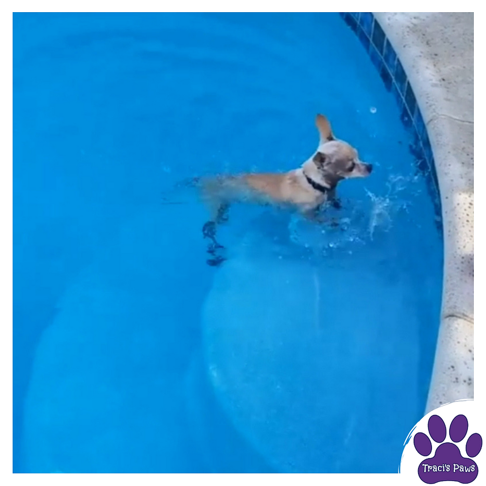 Traci's Paws Spokesdog Emee learning how to safely exit a swimming pool.
