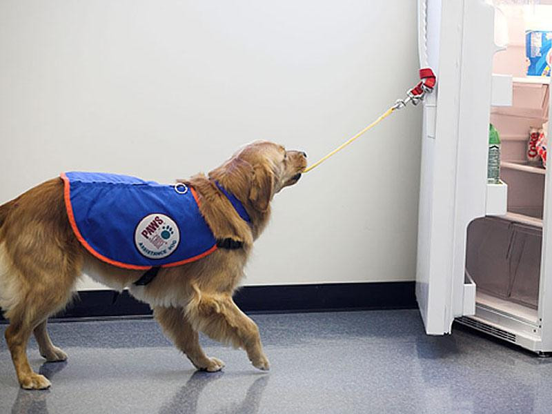 Assistance dog opening the refrigerator for his owner. The Paws Spot, Traci's Paws Blog.